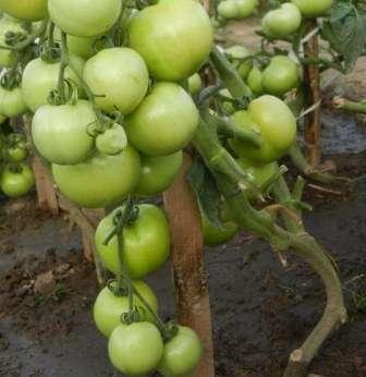 Томат Катя: Фото, відгуки, врожайність, опис та харектеристика