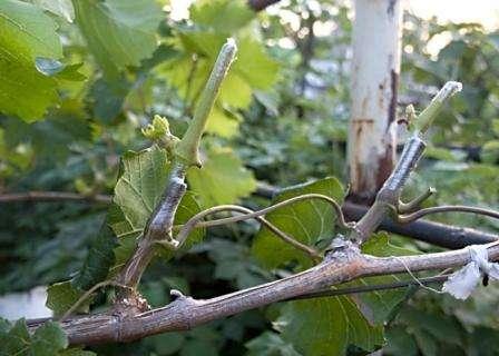 Як і коли проводити щеплення виноградних кущів
