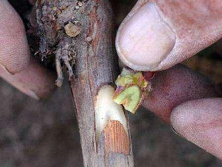 Види щеплень виноградних кущів