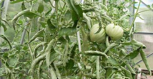 Скручування листя томатів через нестачу вологи