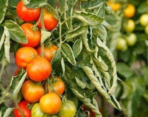 Листя у помідор скручується через шкідників, що робити