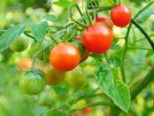Чому скручується листя у помідорів, що робити і як цього уникнути