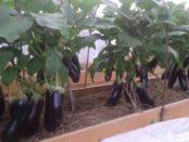 Відео: Вирощування перців і баклажанів у відкритому грунті