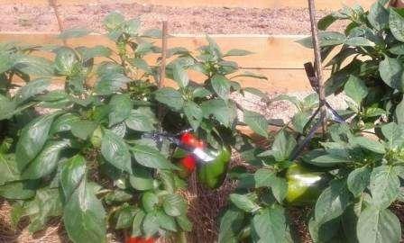 Як вирощувати перець та баклажани у відкритому грунті