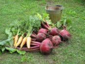 Правильне зберігання моркви і буряка в домашніх умовах