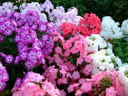 Посадка і догляд за флоксами в саду