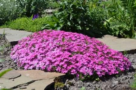 Флокси - багаторічні квіти, що зимують в саду.