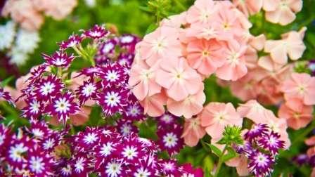 Флокси - багаторічні квіти.Види флоксів (фото) та їх вирощування