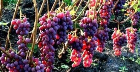 фото амурского сорта винограду