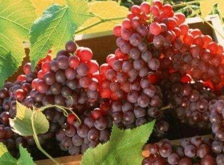 Виноград амурський: опис сорту і фото