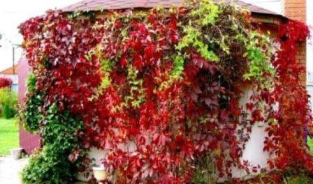 Морозостійкий сорт винограду Амурський: фото амурского сорта