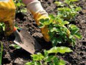 Пересадка полуниці восени коли і як пересаджувати за календарем