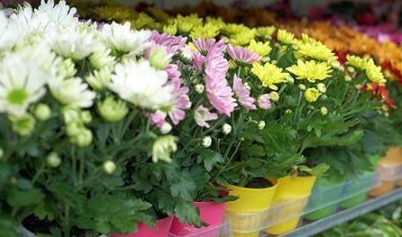 Хризантема кімнатна. Догляд та вирощування в домашніх умовах