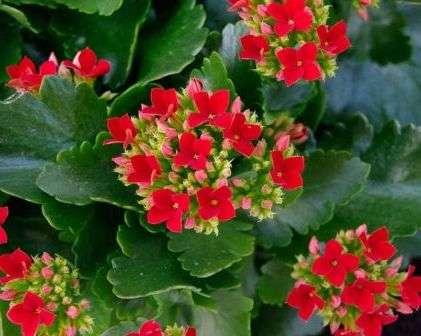 Цвітіння каланхоє, фото
