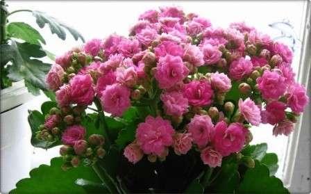 цветок каланхое