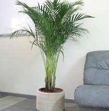 Кімнатна пальма - види, фото і назва