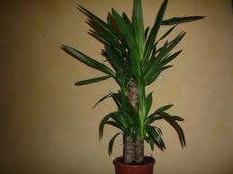 Кімнатна пальма - види