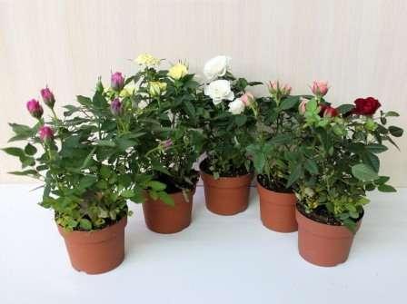 Кімнатна троянда: догляд в домашніх умовах. фото