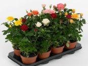 Як доглядати за кімнатними розами в домашніх умовах? фото