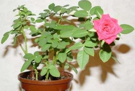 Кімнатна троянда - основні характеристики
