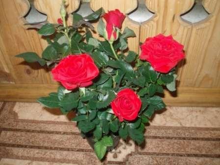 Китайська кімнатна роза - основний догляд