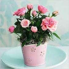 Догляд за кімнатною трояндою: