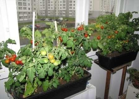 Як виростити помідори на вікні
