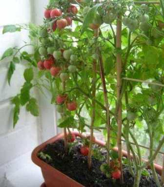 як вирощувати помідори на вікні