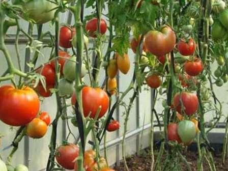 Коли сіяти насіння помідор на розсаду?