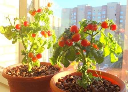 Вирощування помідорів в домашніх умовах на підвіконні
