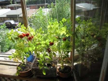 Догляд за помідорами на вікні - що не забути?