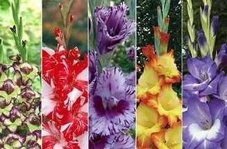 Гладіолуси вирощування і догляд: