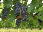 Пересадка винограду осінню.Як пересадити виноград восени (строки)