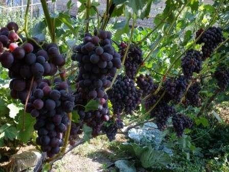 Столовий виноград вимагає особливого догляду, в тому числі - уваги при пересадці