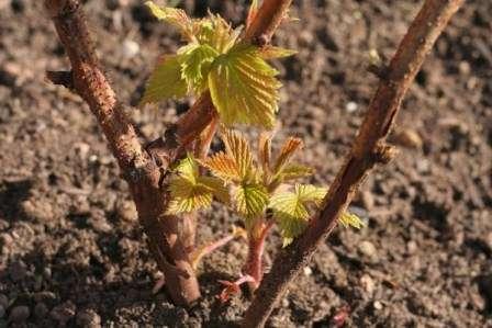 Якщо ви вирішили пересаджувати виноград восени, робіть це в другій половині жовтня
