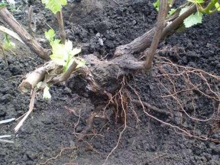 Викопаний кущ винограду