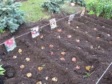 Як же посадити лілії восени?