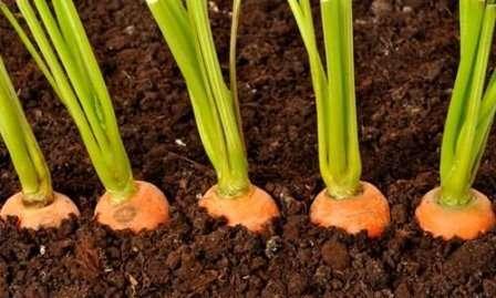 Готуємо місце для посадки моркви на зиму