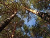 Як посадити сосну з лісу восени на дачі. Догляд за сосною осінню