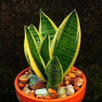 Кімнатні рослини щучий хвіст – як доглядати і розмножувати