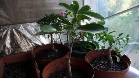 Розмноження азалії в домашніх умовах