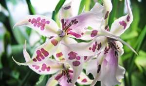 Орхідея Камбрія