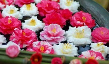 Квітка Камелія:догляд,вирощування і розмноження в домашніх умовах