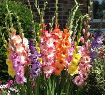 Гладіолуси - традиційні квіти на дачних ділянках.