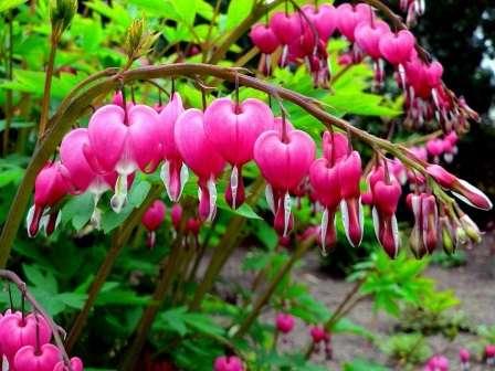 Через форми квіток, дицентру називають «розбитим серцем»