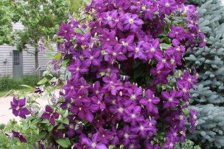 Клематис відрізняється тривалим періодом цвітіння.