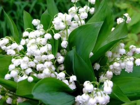Квіти конвалій мають приємний стійкий аромат.