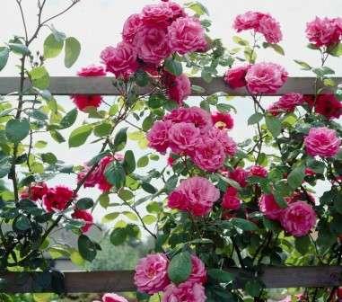 Плетиста троянда вирощування та догляд за квіткою - опис з фото.