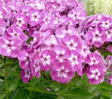 Флокси вирощування та догляд за квіткою - опис з фото.