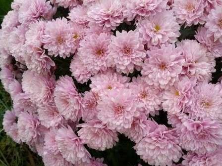 При правильному догляді хризантема дасть пишне цвітіння.